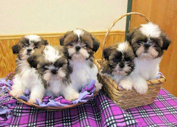 tzu shih Adult sale